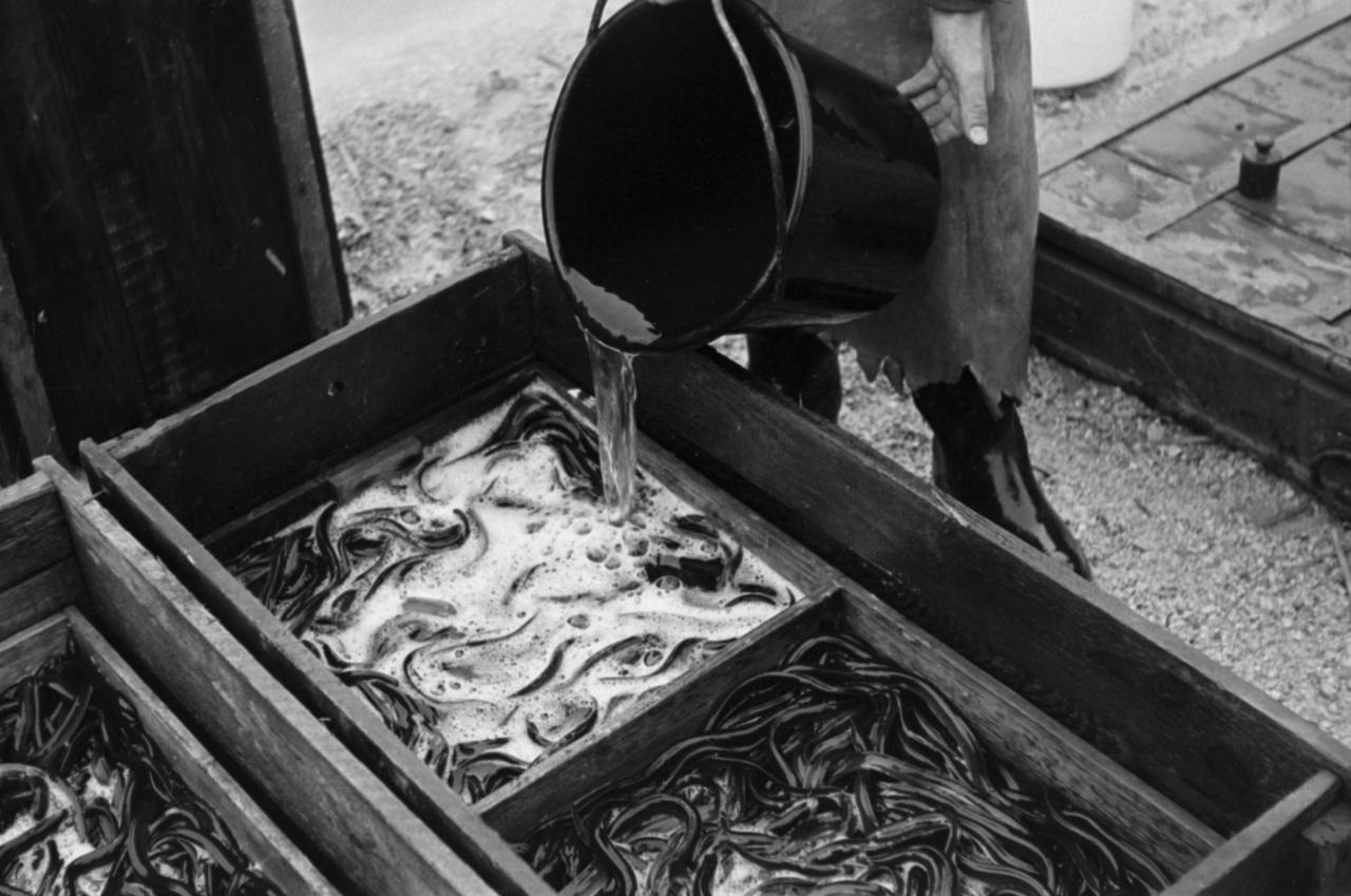 Angolnák mérlegelve, valószínű telepítés vagy szállítás  előtt.Az angolna sem őshonos hal a Balatonban, bár egyes vélemények szerint a Sió csatornán fel tudott úszni. Míg az amurnak az ikrája, az angolnának a vére mérgező.  Balatoni horgászat során helyi öreg pecásoktól lehet olyan történetet hallani, hogy éjszaka az angolnák kikúsznak a kertbe, és leeszik a zsenge zöldborsótermést. Bár tényszerű, hogy az angolna a nedves fűben meglepően jól siklik, a történetet azért valószínűleg túlzás.