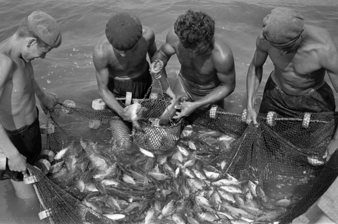 Vidám nyári halászatA zsákmány láthatóan apróhalakból, többnyire kispontyokból áll,  de egy körülbelül hatkilós példány is rajtavesztett. A halakat valószínű telepítés céljából halászták ki egy nevelőtóból.
