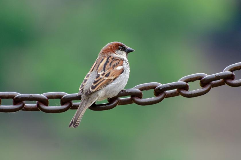 Mind a házi, mind a mezei veréb itthon telel. Ezek a madarak szinte kizárólag az ember közelében élnek, és szívesen fogadják a magokat az etetőkben táplálék gyanánt.