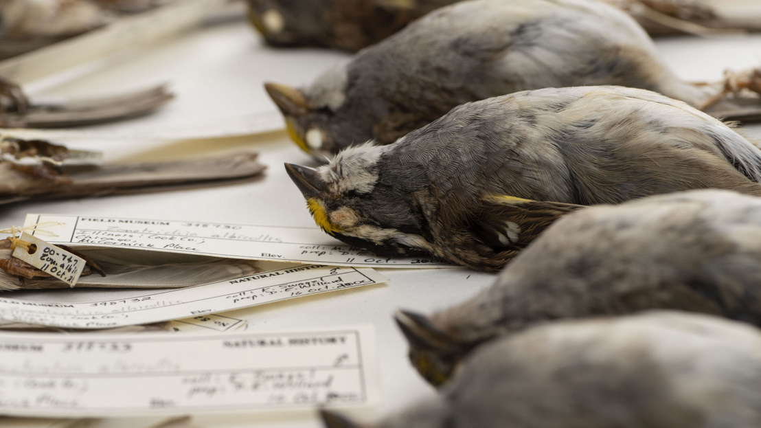 migratory-birds-shrinking-as-climate-warms-new-analysis-of-four-
