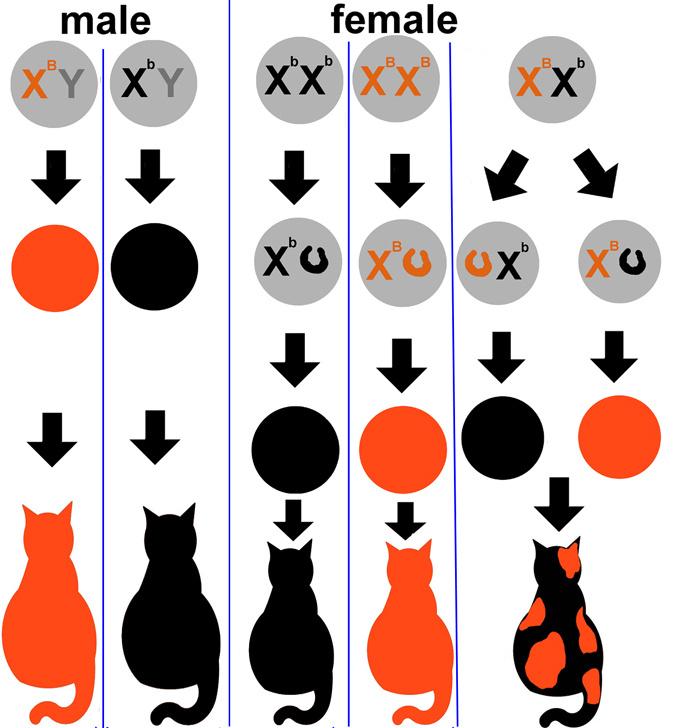 A hím és nőstény macskák bundaszíneinek kialakulása