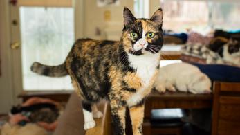 A fehér-fekete-narancs macskák mindig lányok