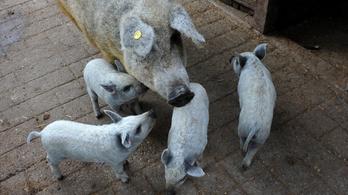 Román sertésfajtaként ír a mangalicáról a legolvasottabb román újság