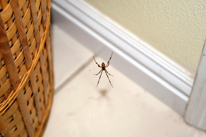 Ez a leghatásosabb házi pókriasztó: azonnal menekülnek előle