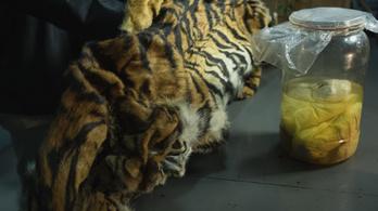 Befőttes üvegben ázó tigrismagzatokat próbáltak eladni indonéz orvkereskedők
