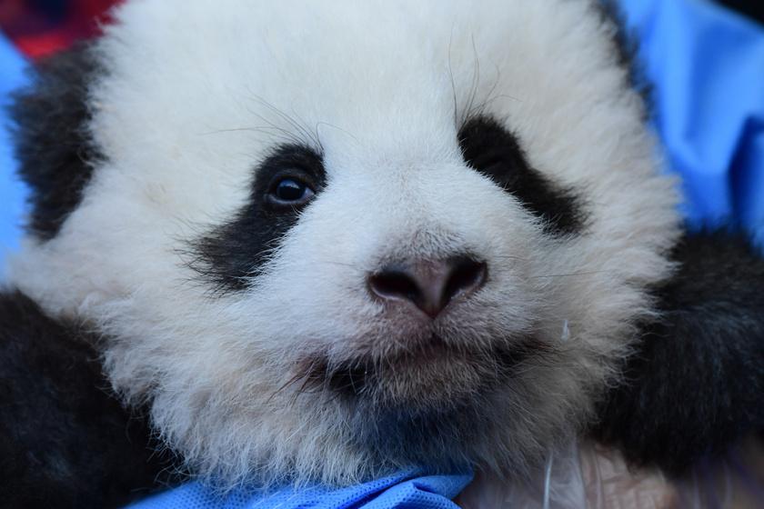Csoda szép nevet kaptak a Berlini Állatkert 100 napos pandaikrei - Friss fotókon a cukiságok