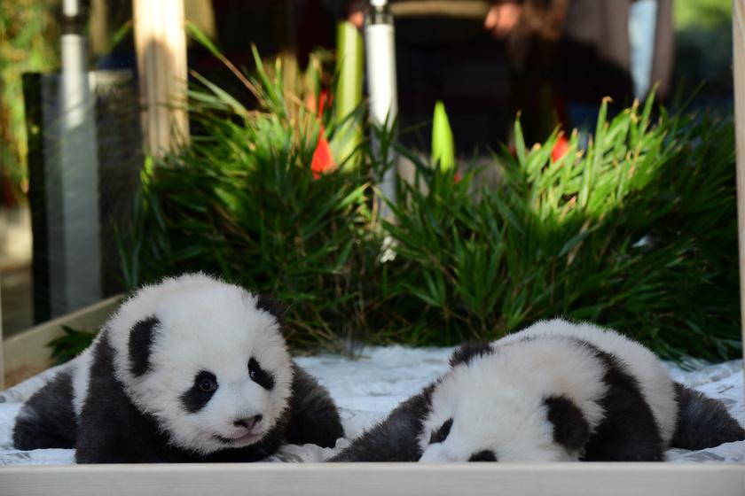A Berlini Állatkert 2017-ben kapta kölcsön Meng Hsziang és Meng Jüan szüleit.