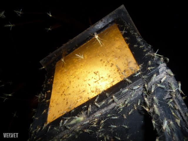 És ezt a fotót úgy készítettem, hogy a közeledtemre a szúnyogok nagy része már odébbrepült. Ez csak a legbátrabb/leglustább kemény mag