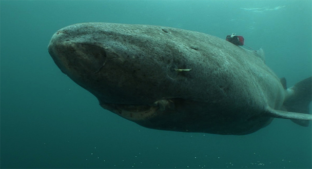 A kutatók műszerekkel figyelték egy grönlandi cápa mozgását és táplálkozási szokásait