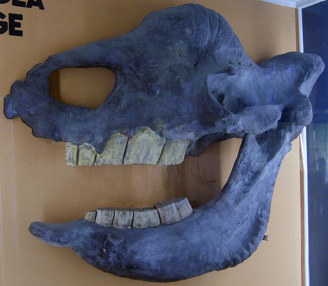 Az az ősi óriás orrszarvún koponyacsontjának másolata