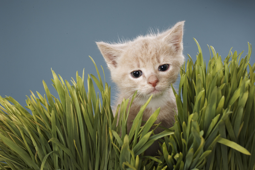 cica-szobanoveny-macska