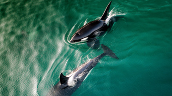 A gyilkos bálnáknál is működik a nagymamaeffektus