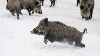 Romániai vaddisznó vihette a sertéspestist Békés megyébe