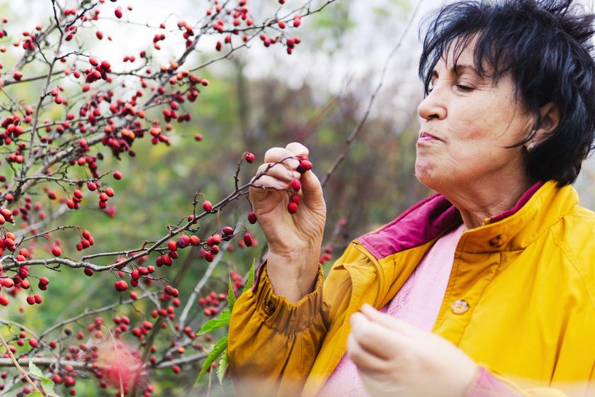 A leghatékonyabb fogyást támogató gyógynövények: segítenek a diéta alatt