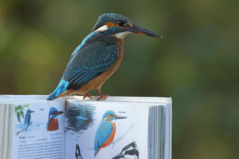 A fotósnak sikerült egy olyan képet is lőnie, ahol egy ornitológiai könyvet tartva a kezében a madár úgy csücsül a könyv borítóján, hogy közben a faj leírását tartalmazó összesítő látszik.