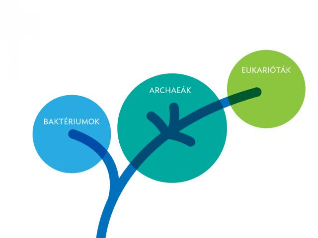 Az új adatok alapján legvalószínűbb, kétdoménes törzsfa. Az eukarióták az archeákból alakultak ki