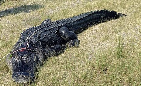caughtalligator19xx