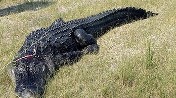 Nem az aligátor ölte meg a férfit, akinek a kezét és a lábát megtalálták az állat gyomrában