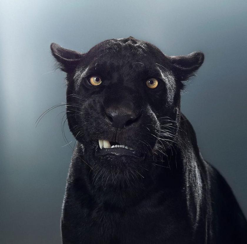 Maya, a jaguár élete nehezen indult. Édesanyja nem tudta őt etetni, ezért a gondozók táplálták, amíg meg nem erősödött.