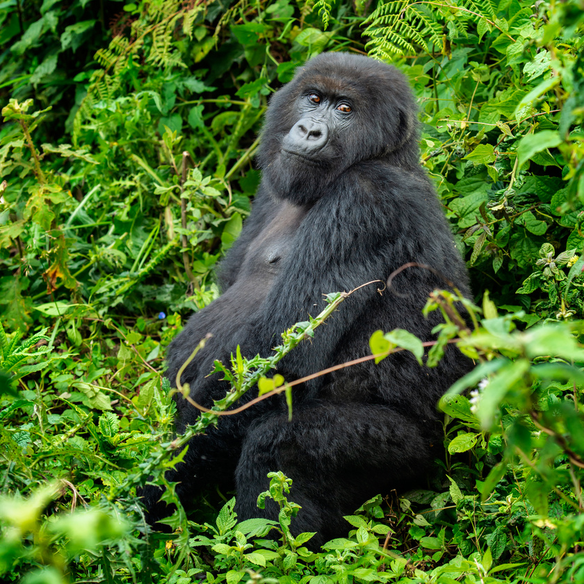 hegyi-gorilla-2