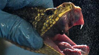 Belehal-e a mérgeskígyó, ha véletlenül megharapja magát?