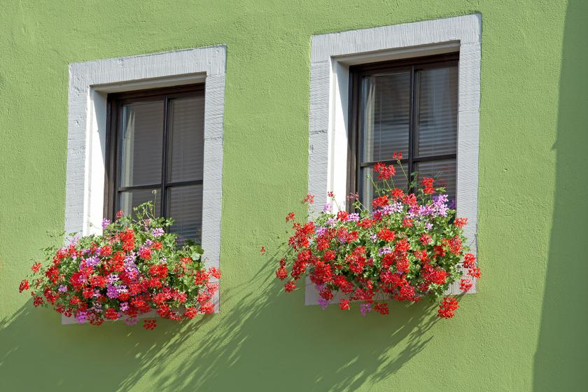 A muskátli jellegzetes, erőteljes illata miatt nem a szúnyogok kedvence. Az ablakba ültetve kevesebb vérszívótól kell tartani a lakásban.