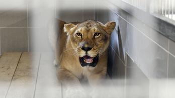 Ki kellett üríteni a Veresegyházi Medveotthont egy oroszlán miatt