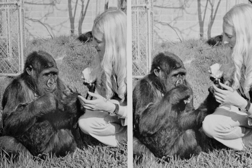 Koko és Francine kommunikál a '70-es években