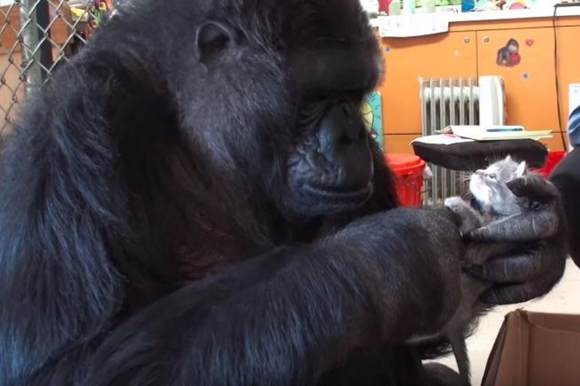 Koko 2015-ben