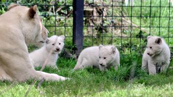 Óvadékkal szabadlábra kerültek egy állatkert lakói, el is hagyják Franciaországot
