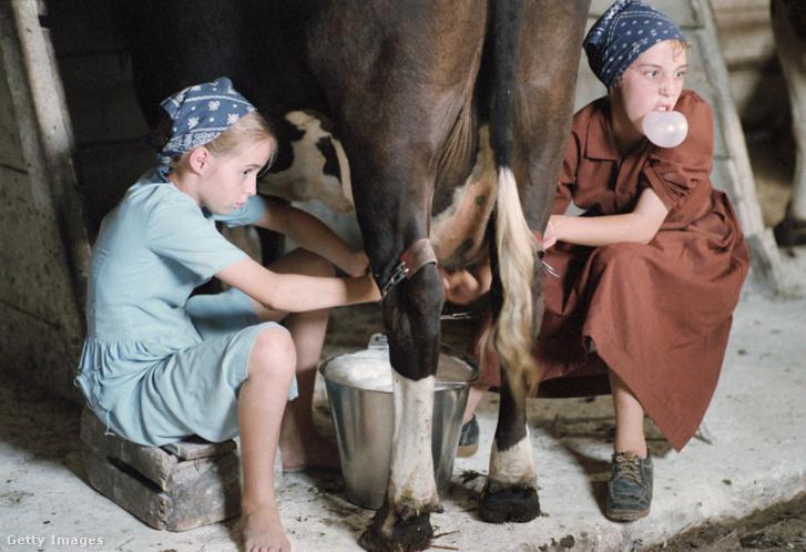 Amish lányok tehénfejés közben. Indiana, USA 1980.