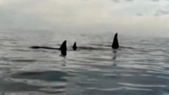 A szicíliai tengerszorosig úszott három kardszárnyú delfin