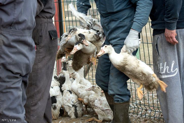 A madárinfluenza terjedésének megakadályozása céljából leölésre ítélt kacsákat gyűjtenek be egy baromfitelepen a dél-franciaországi Saint-Aubin egyik gazdaságában 2017. február 22-én.