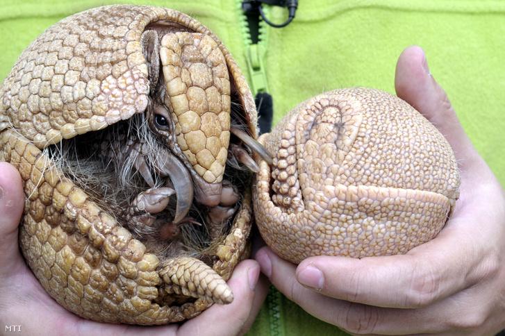 A négy hete született matakókölyök (háromöves tatu) és anyja, Hanga Zoltán az állatkert szóvivőjének kezében a Fővárosi Állat- és Növénykert Pálmaházában 2019. május 3-án.