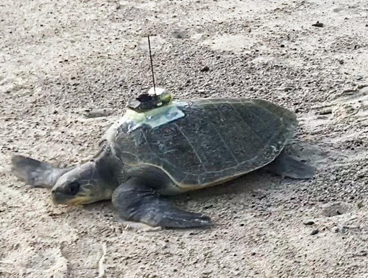Az egyik adatlogger teknős