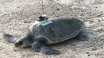 Öt teknős segített vizsgálni a tengerek melegedését