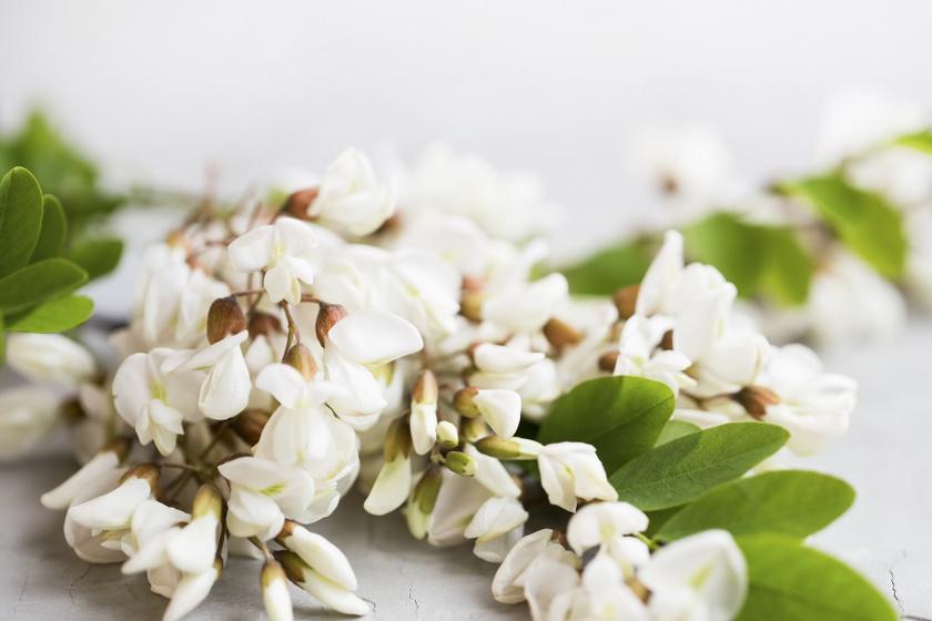 Az akác édeskés ízű virág, amelyből nemcsak finom szörpöt lehet készíteni, de belekerülhet a salátákba, mártásokba is. A népi gyógyászatban a gyomorsavtúltengés ellen is ajánlják.