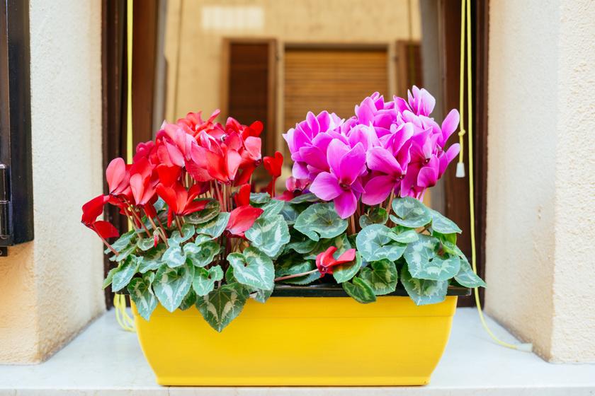 Míg a ciklámen levele és virágai enyhén mérgezőek, addig a gumója erősen mérgező, ami erős hasi görcsöket, hányást és hasmenést, de átmeneti bénulást és légzészavart is okozhat.