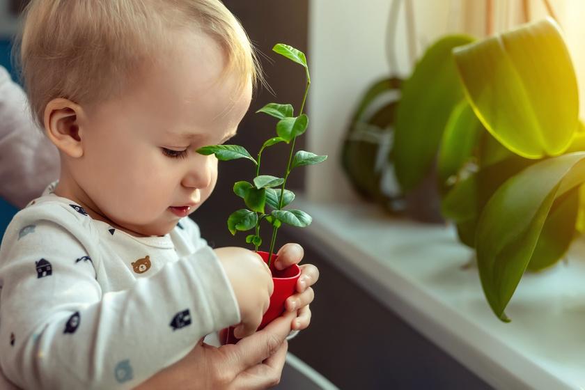 10 kedvelt szobanövény, amit ne tegyél a lakásba, ha gyereked van: mérgező részei vannak