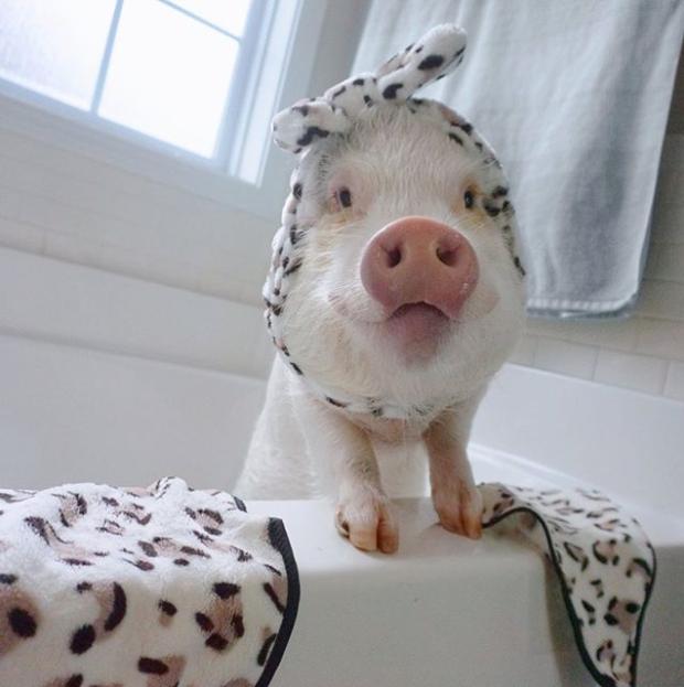 hamlet_the_piggy / Instagram