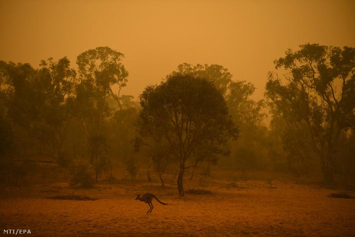 Kenguru a bozóttűz füstjében Canberra határában 2020. január 5-én