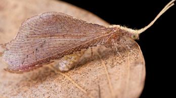 A rovar, ami szó szerint a halálba fingja az áldozatát