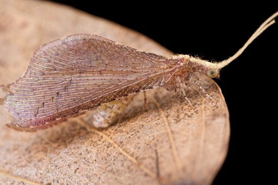 deadleaflacewing