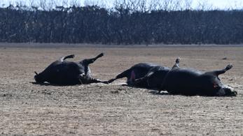 Már legalább egymilliárd állat halt meg az ausztrál bozóttűzben