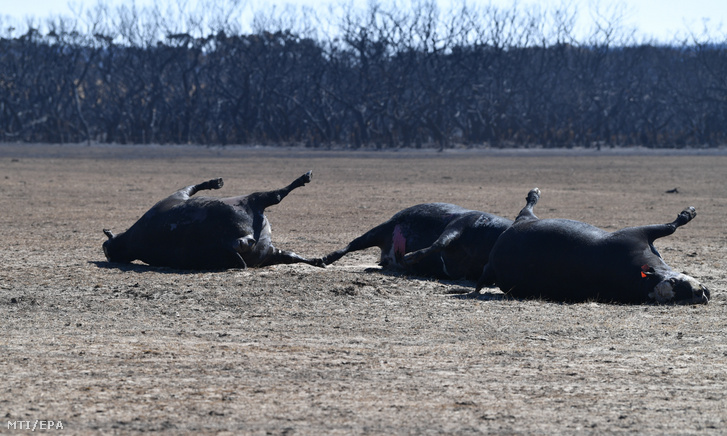Elpusztult marhák megperzselődött felfúvódott teteme a dél-ausztráliai Kenguru-szigeten 2020. január 6-án.