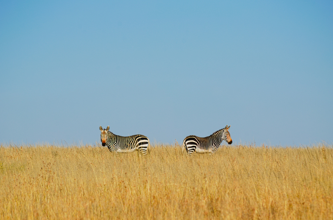 terasz zebra nyitó