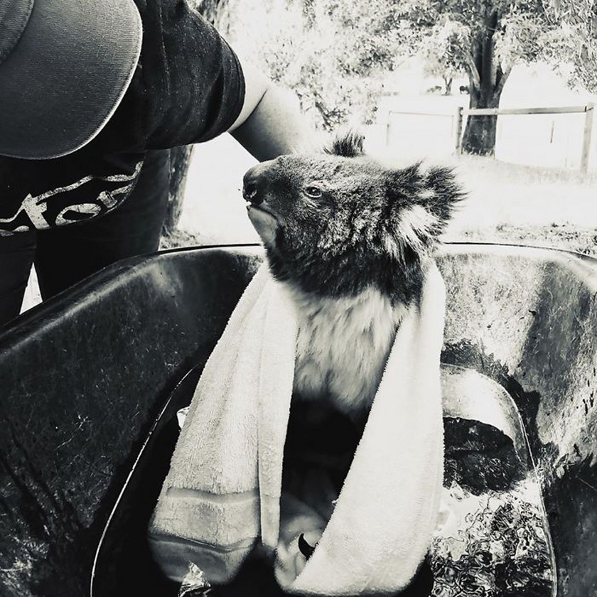Az Adelaide Koala Rescue alapítványnak sajnos bőven akad munkája. A képen látható Dolly testét vízzel hűtötték le, majd vizet és fájdalomcsillapítót kapott. Szemében hála és megkönnyebbülés látszik.