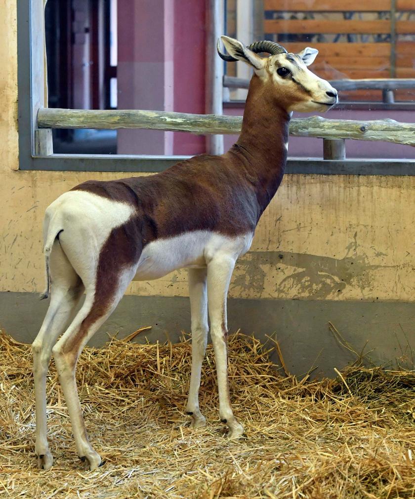 kis-gazella
