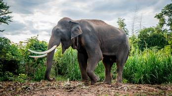 Minden, amit tudni akart az elefánt péniszéről, de sosem merte megkérdezni