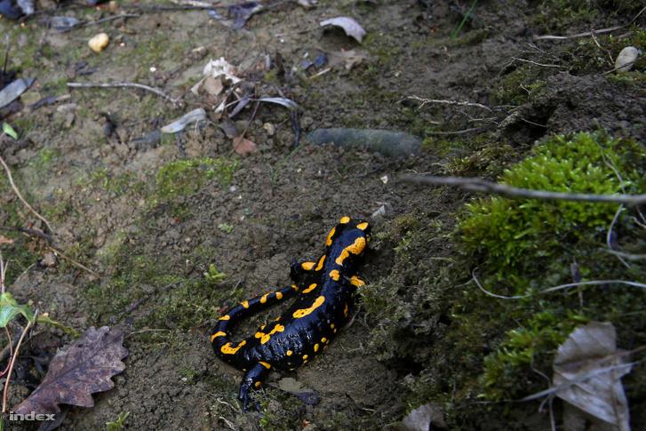 Egy Budaliget környéki szalamandra 2018 tavaszán